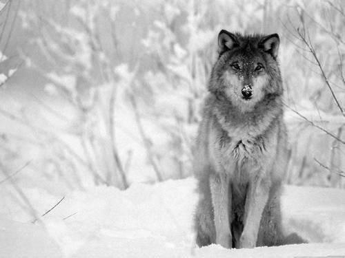Afbeelding van blackwolf